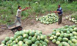 زیان دیدن کشاورزان هرمزگانی در سال گذشته
