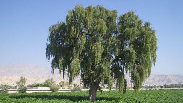 حمیدرضا محسنی پور: درخت «کهور» نماد ژئوپارک قشم شد