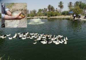 آغاز برداشت ماهی از نخستین مزرعه پرورش ماهی کپور در شهرستان میناب