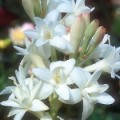 برداشت ۵ هزار شاخه گل مریم در هرمزگان