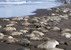 مرگ ۱۵۰ قطعه سفره ماهی در ساحل قشم
