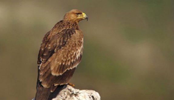 رهاسازی ۱۶ بهله پرنده شکاری در هرمزگان