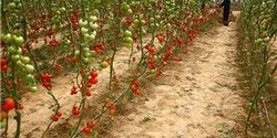 سلمان انصاری: آغاز کشت گوجه فرنگی توسط گلخانهداران قلعه قاضی بندرعباس