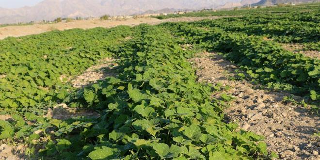 مزارع کدو حلوایی در هشتبندی هرمزگان
