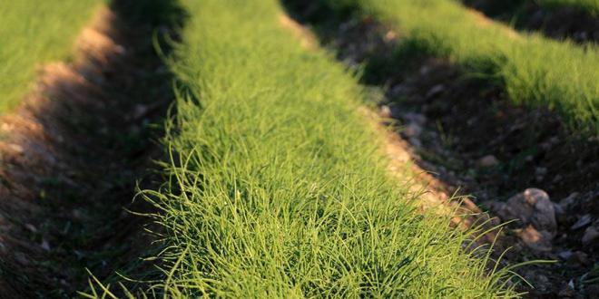 مزرعه تولید نشاء پیاز در هشتبندی هرمزگان