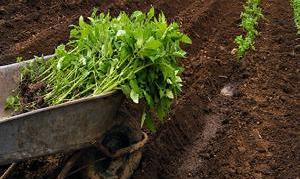 کاشت گوجه فرنگی در پشت سد در بشاگرد