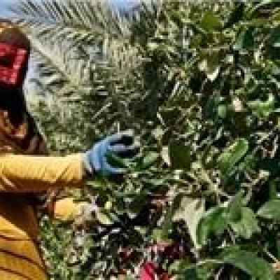 پیشبینی برداشت ۱۰ هزار تن میوه کنار در هرمزگان
