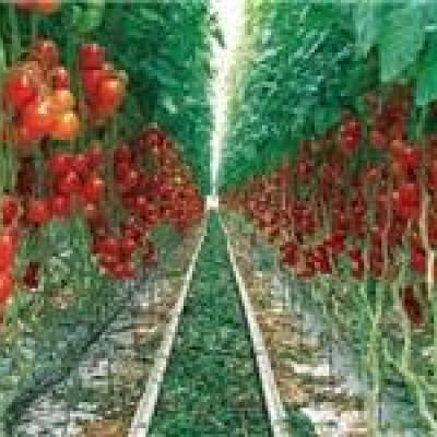 آغاز خرید حمایتی گوجه فرنگی کشاورزان بستکی