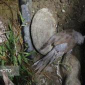 افزایش مرگ پرندگان در برخی از مناطق شهرستان جاسک