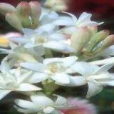 آغاز برداشت گل مریم در هشت بندی میناب