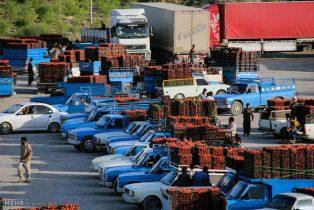 هزاران تن گوجه فرنگی در معرض نابودی است/ کشاورزان در خطر ورشکستگی+ تصاویر