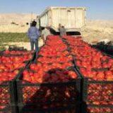 خرید بیش از ۳ هزار تن گوجه فرنگی طرح حمایتی در میناب