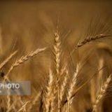 خرید تضمینی ۴۹۰۰۰ تن گندم از کشاورزان هرمزگانی