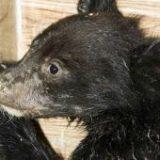 حال «کاریزا» توله خرس سیاه هرمزگانی کاملا خوب است