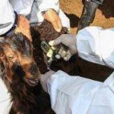 واکسیناسیون بیش از ۲۰ هزار راس دام سبک علیه بیماری آبله در پارسیان
