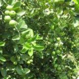 آغاز برداشت لیمو ترش از باغهای رودان