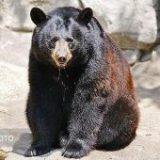 نجات یک قلاده توله خرس سیاه آسیایی در شهرستان رودان