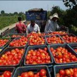 خرید بیش از ۶ هزار تن گوجه فرنگی از کشاورزان هرمزگانی