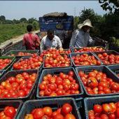 آمادگی شبکه تعاون روستایی برای خرید حمایتی و توافقی گوجه فرنگی