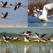 میزبانی تالاب بین المللی آذینی سیریک از۸ هزار پرنده مهاجر