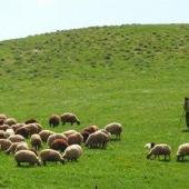 جلوگیری از استرس دامهای آبستن در توصیههای هواشناسی کشاورزی