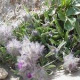 برداشت گیاهان دارویی در رودان آغاز شد