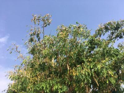 زلزله خانمان برانداز ملخ ها در سیاهو / جای خالی ستاد بحران در وضعیت بحرانی کشاورزان و مردم