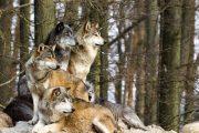 مشاهده یک گرگ در دانشگاه زنجان دانشجویان را به وحشت انداخت
